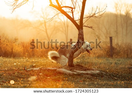 Husky dog pooping in nature #1724305123