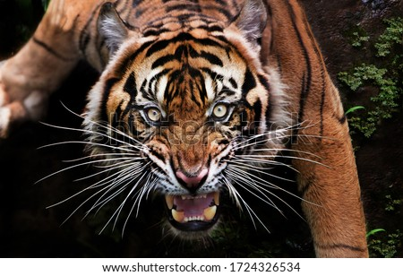 when the mood of the beautiful Sumatran tiger is bad Royalty-Free Stock Photo #1724326534