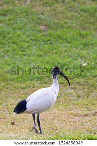 A big black and white bird hanging out on the grass at the park on a warm morning.