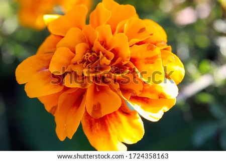 Flowers: A lovely orange bloom in the botanical gardens outside on a warm morning, dew still within the petals.