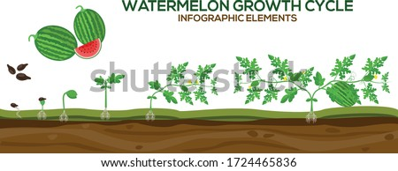 Watermelon growing cycle vector illustration in flat design. Planting process of Watermelon plant. Watermelon growth cycle from grain to flowering and fruit-bearing plant isolated on white background. #1724465836