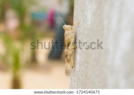 A  large desert locust sitting on a wall with blurred background.