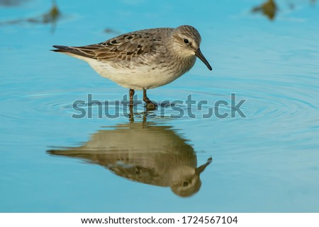 A White-rumped Sandpiper is wading in the shallow blue water. Ashbridges Bay Park, Toronto, Ontario, Canada. Royalty-Free Stock Photo #1724567104