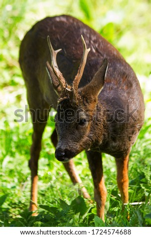 The Roe Deer is the smallest of the indigenous species of deer found in the UK. They are common and widespread animals of forestsand woodlandsand can be found close to urban environments #1724574688