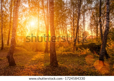 Sunrise in a birch forest with fallen leaves on a sunny autumn morning with fog. Landscape.