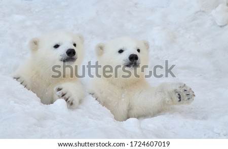 Two white polar bear cubs look out of a snow hole. Royalty-Free Stock Photo #1724607019