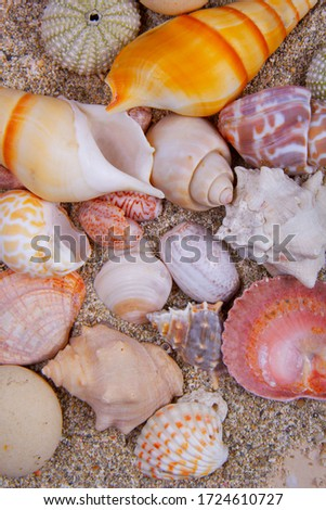 You can find different types of seashells during walking on the beach. There are some Scallop, urchin, horse conch, clams and alphabet shell in this picture.