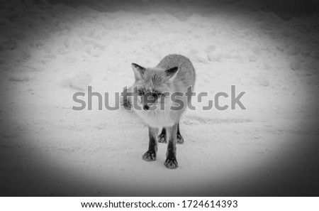 A black and white vignette photo of a curious, wild red fox on a snow covered mountain road in Hokkaido, Japan.