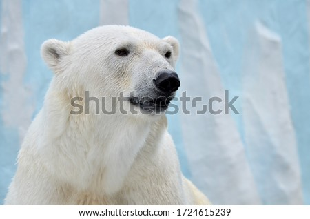 Portrait of a polar bear on a blue background. Royalty-Free Stock Photo #1724615239