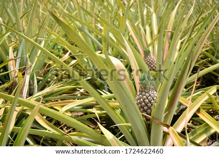 this pic show the pineapple fruit in the garden, it's a tropical fruit
