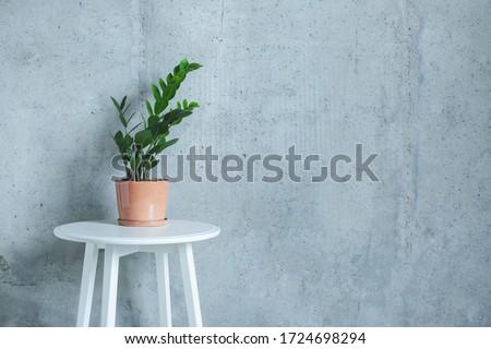 Indoor home Plant. Zanzibar Gem, ZZ Plant (Zamioculcas Zamifolia). flowering plant in front of grey concrete wall. Copy space #1724698294