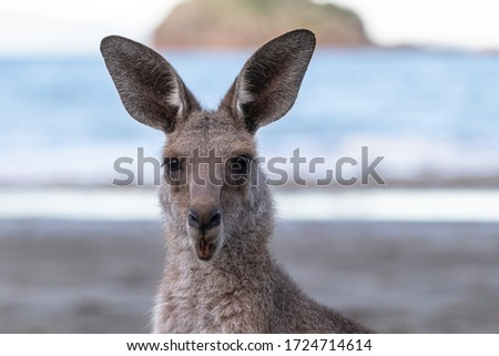 Portait of a surprised kangaroo, blurry background, open mouth, moving ears, at the beach in front of the ocean. Portrait picture expressing emotion. Cape Hillsborough, Queensland, Australia, Oceania
