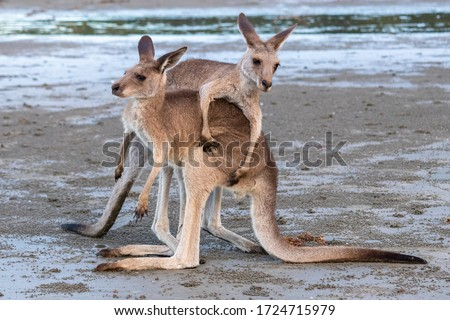 Two young male kangaroos playing with each other with big energy, at the beach in front of the ocean, sunset time. Full body picture, one on top. Cape Hillsborough, Queensland, Australia, Oceania