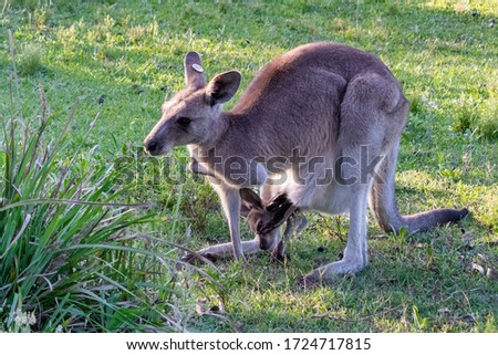 Mother kangaroo carrying a baby in the poach. Protective and caring mother. Baby with head, hands and feet outside the poach. Full body picture. New South Wales, Australia, Oceania.