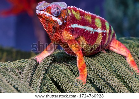 Chameleon furcifer pardalis ambilobe panther chameleon sitting on tree branch. Close up chameleon panther on nature background. #1724760928