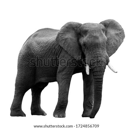 African elephant at the zoo, isolated on white background Royalty-Free Stock Photo #1724856709