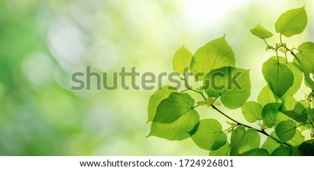 Green leaves on elm tree. Nature spring and summer background.   Royalty-Free Stock Photo #1724926801