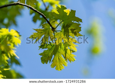 Maple Acer saccharinum with new green leaves against blue sky. Young bright foliage on Acer saccharinum in sunny spring day. Nature concept for any design. Soft selective focus. Place for your text #1724931286