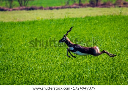 A lone Blackbuck being chased by feral dogs, in lush green farmland of central India.  Royalty-Free Stock Photo #1724949379