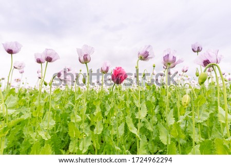 Beautiful field of white poppies on a cloudy summer day #1724962294