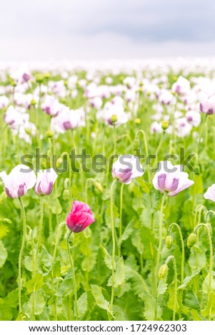 Beautiful field of white poppies on a cloudy summer day #1724962303