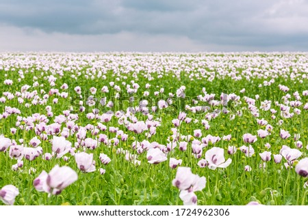 Beautiful field of white poppies on a cloudy summer day #1724962306