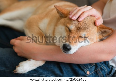 A woman petting a cute red dog Shiba inu, sleeping on her lap. Close-up. Trust, calm, care, friendship, love concept. Happy cozy moments of life. Stay at home concept Royalty-Free Stock Photo #1725002485