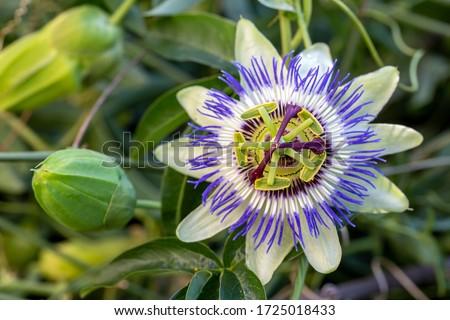 Close up passiflora. Passion Flower (Passiflora caerulea) leaf in tropical garden. Beautiful passion fruit flower or Passiflora (Passifloraceae). Royalty-Free Stock Photo #1725018433