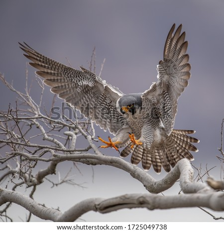 Peregrine Falcon in New Jersey Royalty-Free Stock Photo #1725049738