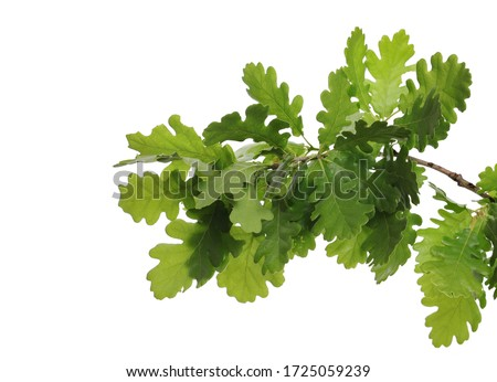 Young oak leaves on branch, green foliage isolated on white background Royalty-Free Stock Photo #1725059239
