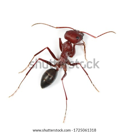 Desert ant, Cataglyphis bicolor isolated on white background Royalty-Free Stock Photo #1725061318