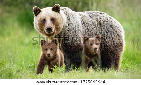 Protective female brown bear, ursus arctos, standing close to her two cubs. An adorable young mammals with fluffy coat united with mother in the middle of grass meadow. Concept of animal family. Royalty-Free Stock Photo #1725069664