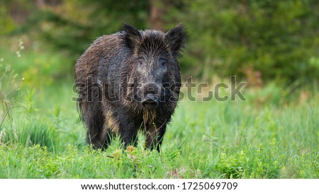 Majestic wild boar, sus scrofa, standing on the forest clearing and facing camera. Solitary massive animal in the wild nature. Cute adult hog on the pasture. Curious and harmless animal in open space. Royalty-Free Stock Photo #1725069709