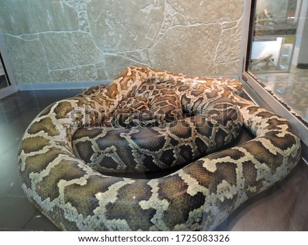 A python Python molurus in a terrarium in a zoo, quietly lying on artificial grass under the muted light of a lamp. A very large non-venomous snake from the genus of real pythons.