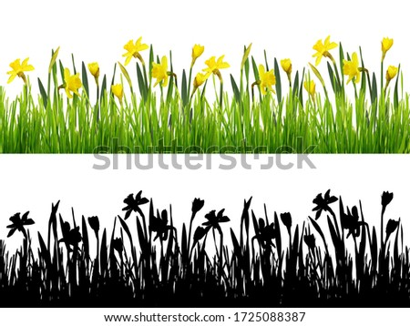 Spring border with fresh green grass and yellow narcissus flowers isolated on white background and its silhouette on black