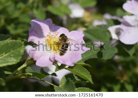 Honey bee Apis Mellifera is collecting pollen on white flower of bush dog rose. Latin rosa canina, similar to a sweet briar also called eglantine state flower or state symbol of Iowa and North Dakota #1725161470