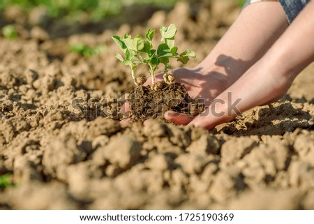 Instructions step by step planting vegetables on the beds. Hands of a farmer girl plant fresh vegetables in the ground.Care, picking, watering your crops at its infield. #1725190369