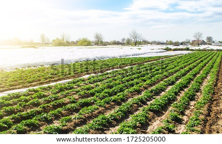 Farm agricultural field of plantation of young Riviera variety potato bushes. Agroindustry and agribusiness. Agriculture, growing food vegetables. Cultivation and care, harvesting in late spring. #1725205000