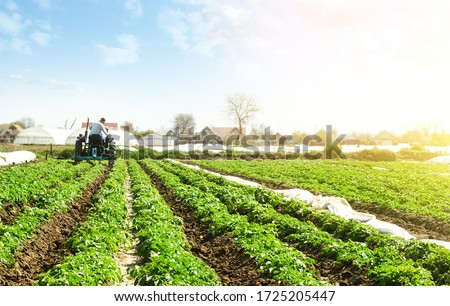 A farmer on a tractor cultivates the soil on the plantation of a young potato of the Riviera variety Type. Agricultural farm field. Loosening the soil to improve air access to the roots of plants. #1725205447