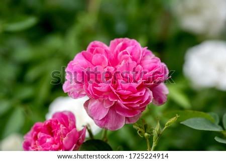 Fresh Damask rose on a natural background. #1725224914