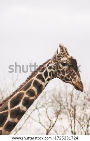Portrait of a young male Reticulated Giraffe, Giraffa camelopardalis reticulata. Close up portrait of Masai giraffe. Giraffe head detail. #1725231724