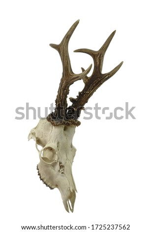 The European roe deer Capreolus capreolus skull with antlers isolated on white background. Hunting trophy prepared for exhibition. Gold medal. #1725237562