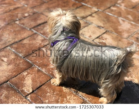 Yorkie pup hair blowing in the breeze