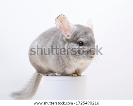Cute furry chinchilla sitting on a tube white background