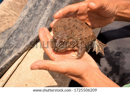 this pic show the Chinese edible frog or rice field frog scientific name Hoplobatrachus rugulosus on hand, it's a economic aquatic animals and local food in nature