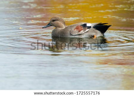 A male Gadwall is swimming in a pond with autumn colours reflecting in the water. Humber Bay Park, Toronto, Ontario, Canada. Royalty-Free Stock Photo #1725557176