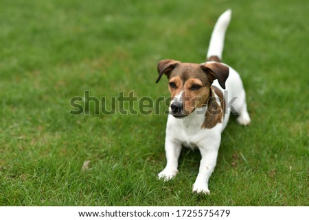 beautiful dog jack russell terrier #1725575479
