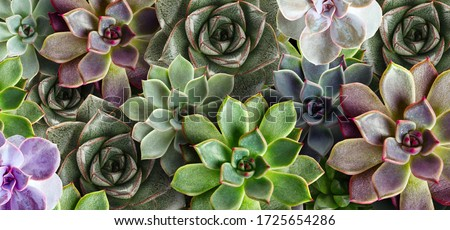 Many beautiful succulent plants as background, top view. Banner design Royalty-Free Stock Photo #1725654286