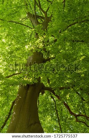 Trunk of a beech tree hidden in leafs #1725775537