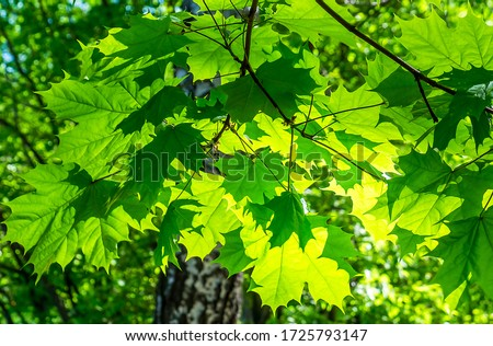 Green maple leaves sunlight background #1725793147
